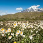Blumenwiese im Torres del Paine Nationalpark in Chile